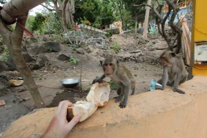 not so wild monkeys near the 'big mountain' of Vung Tau